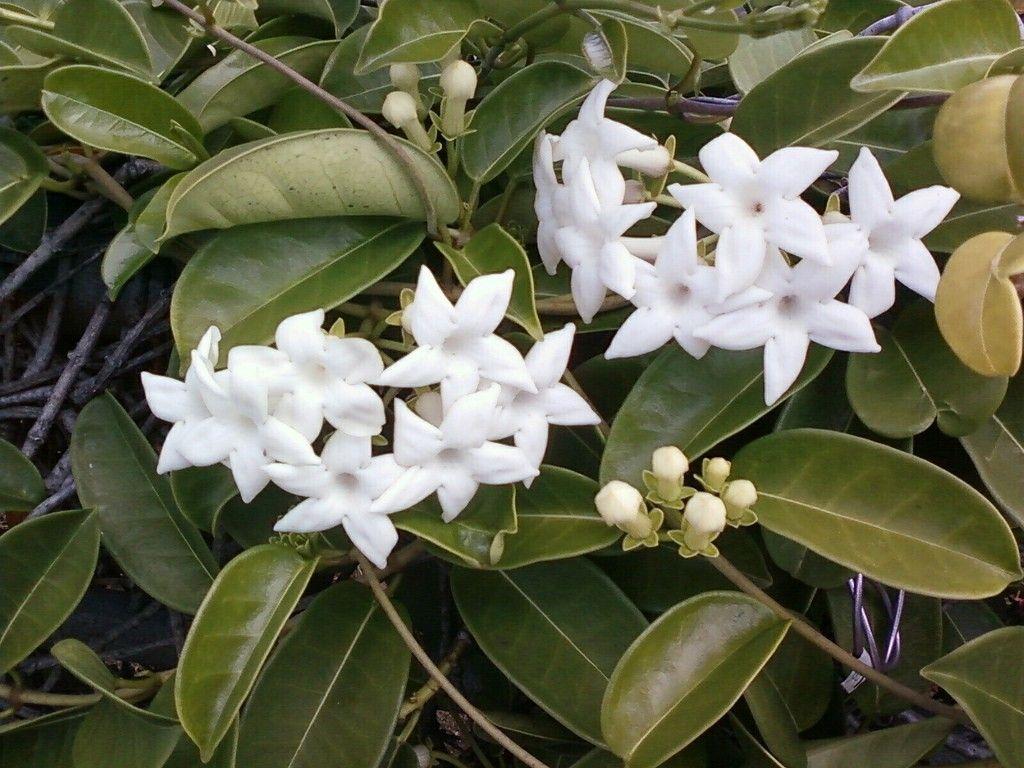 Best Kitchen Gallery: Stephanotis Flowers Info On The Stephanotis Flower Houseplant of Tropical Flowering Houseplants on rachelxblog.com