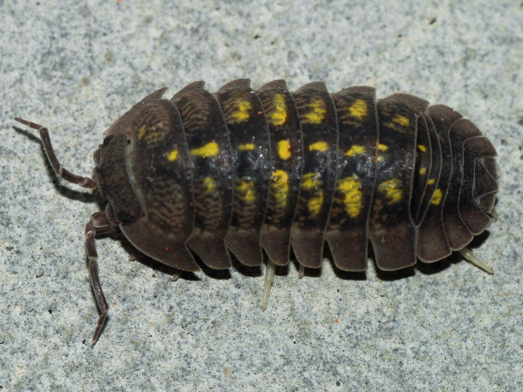 Fun Fact Although Pillbugs And Sowbugs Live On Land They