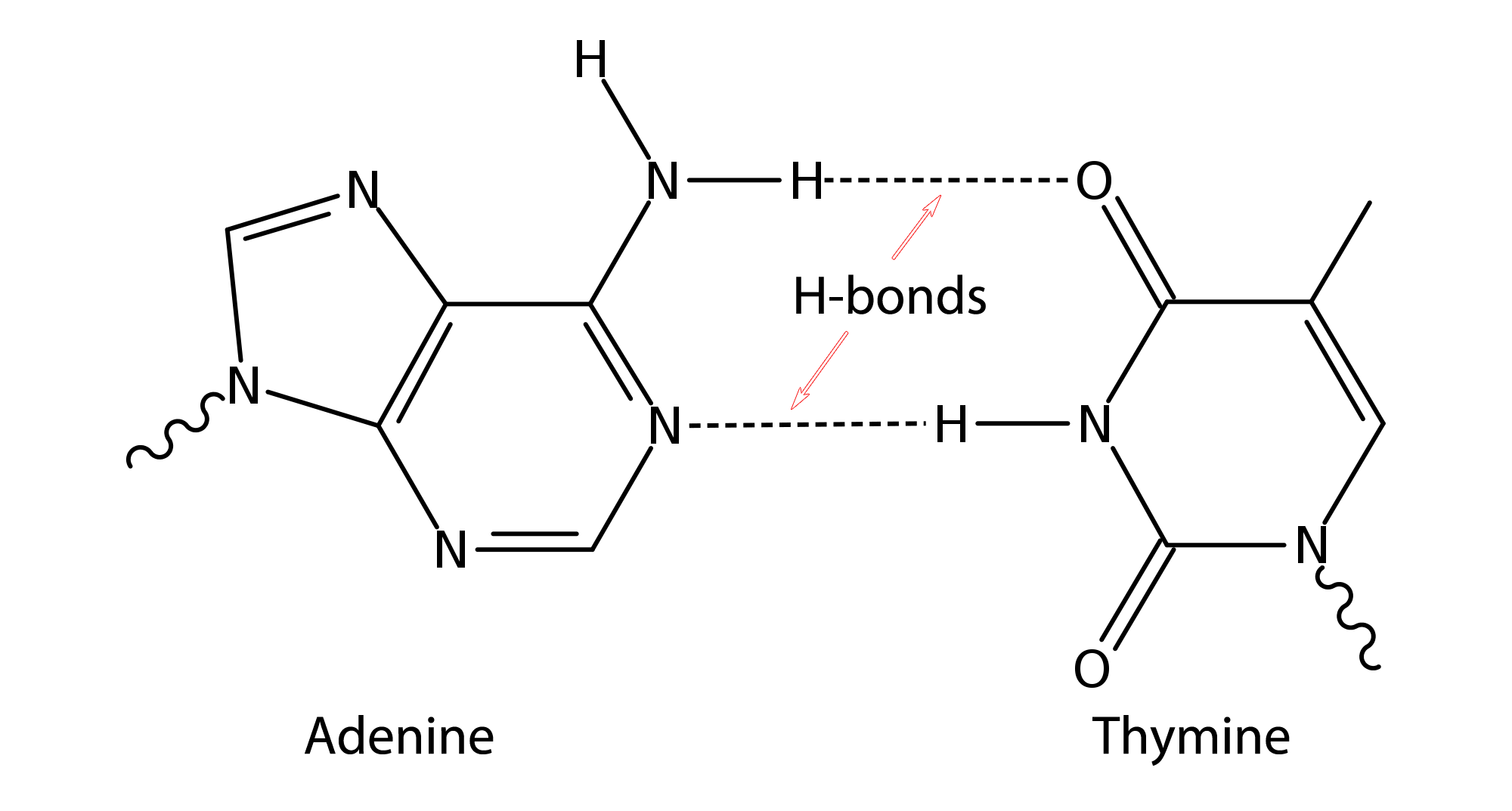 Image Result For Dna Hydrogen Bonds