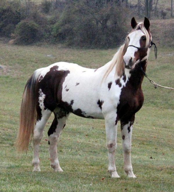 tennesee walker horse foal photo Horse Breeders of