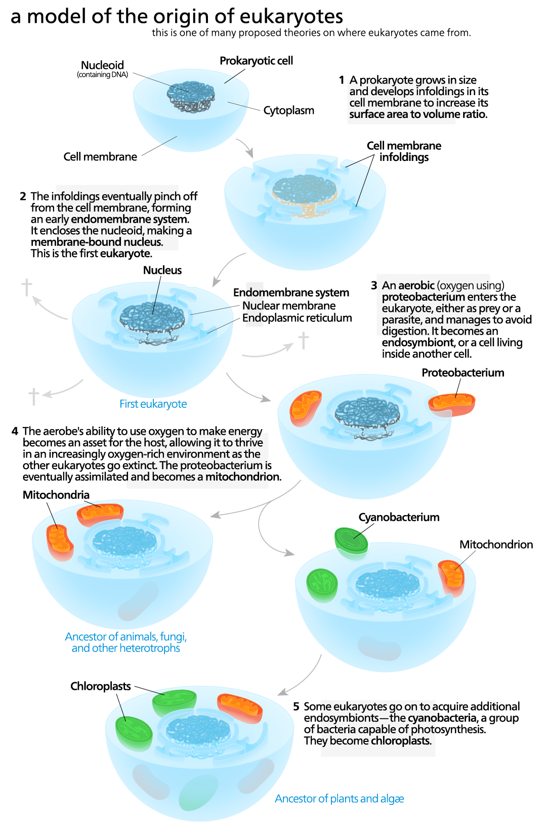Endosymbiosis Diagram