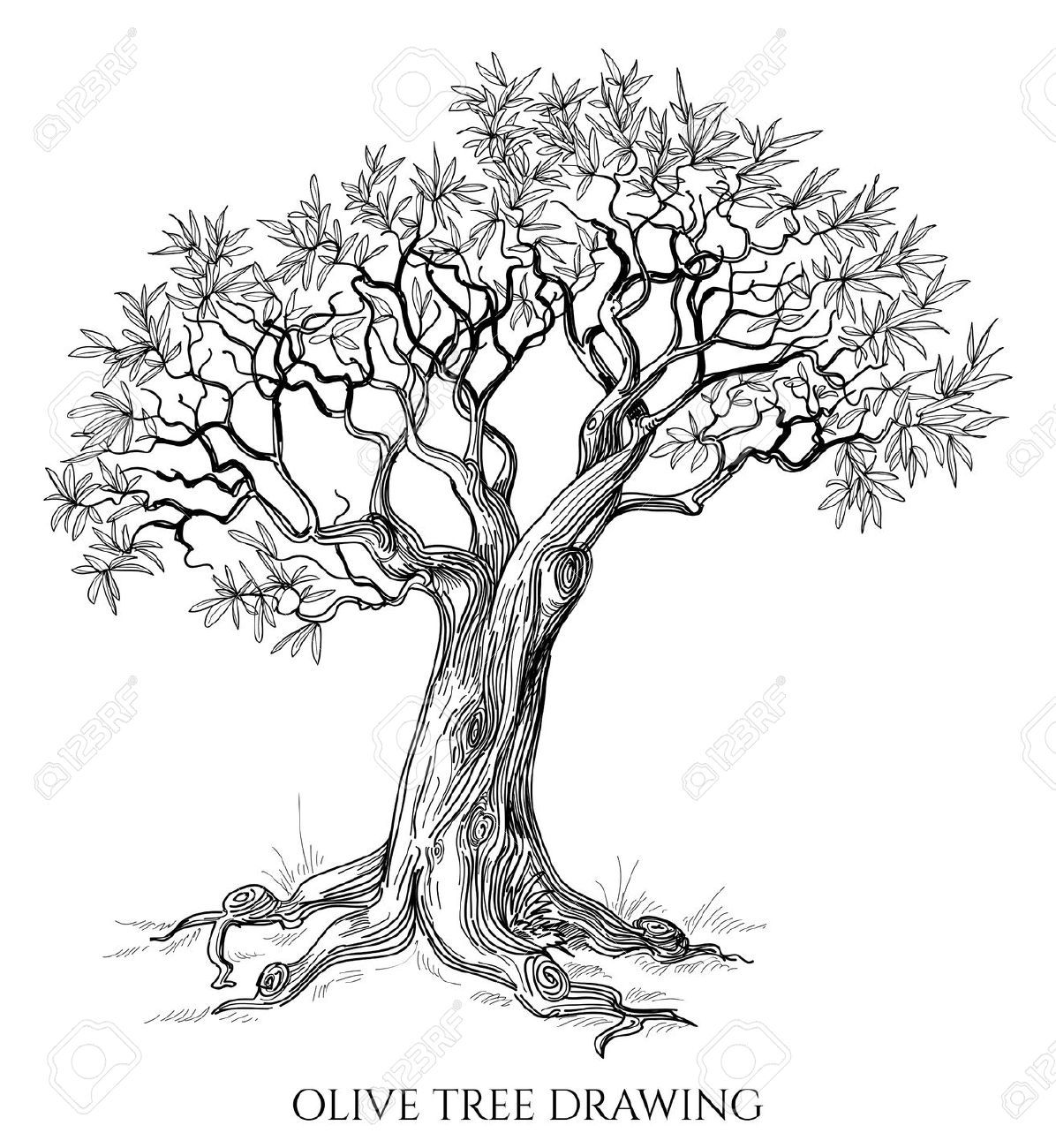 Olive Tree Isolated Hand Drawn Vector Stock