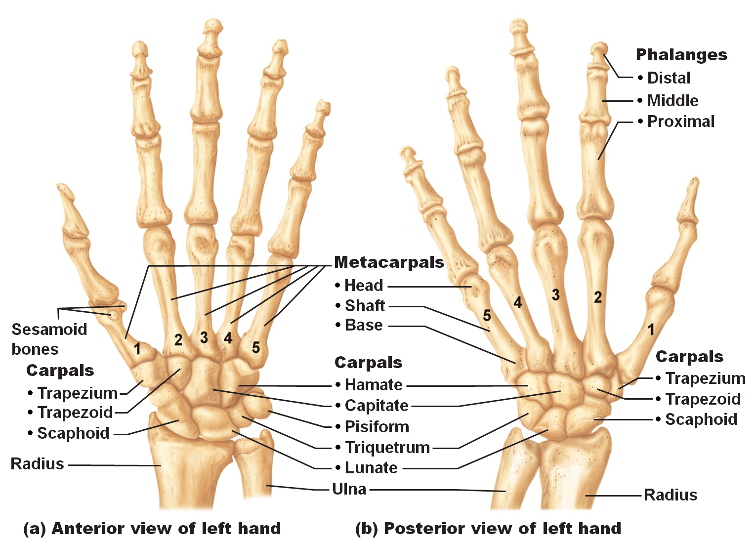 Bones Of The Hands