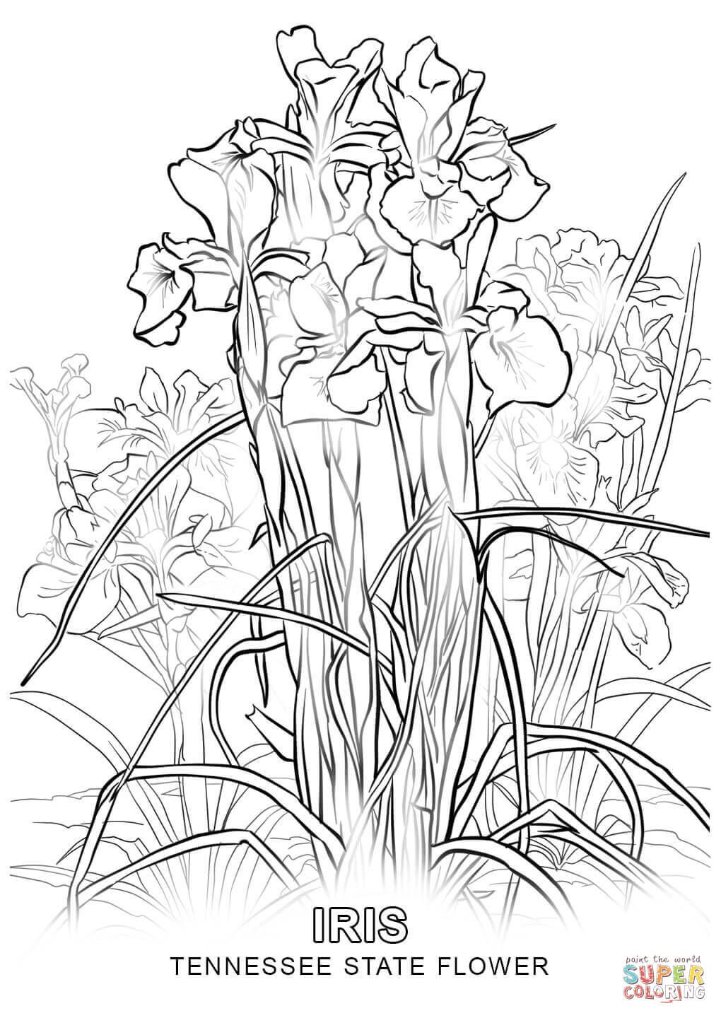 Tennessee State Flower Coloring Page 1020×1440 白描