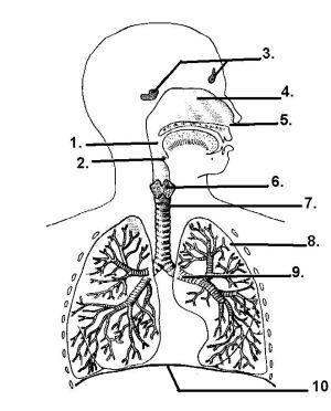 respiratory system diagram  Google Search   math class