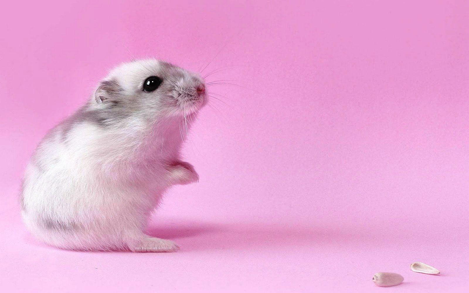 ideas about hamster wallpaper on pinterest hamsters, cute 1600