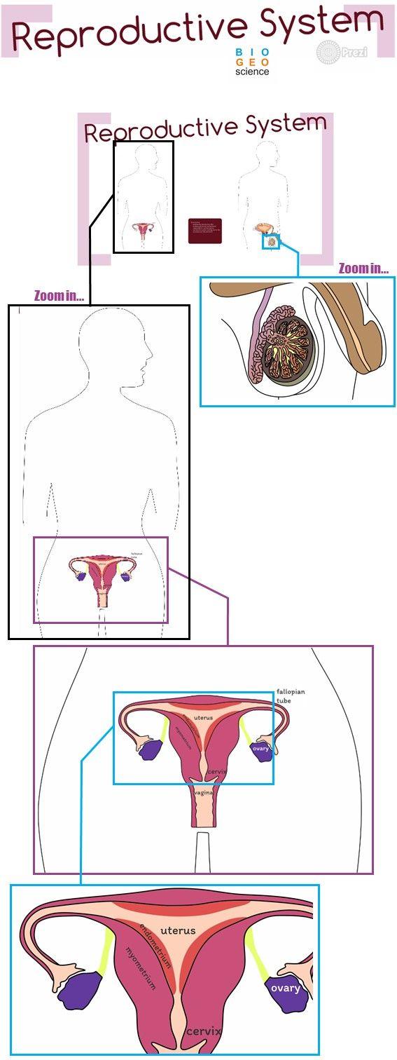 Reproductive System Gr Des 6 To 12 Fem Le Reproductive System