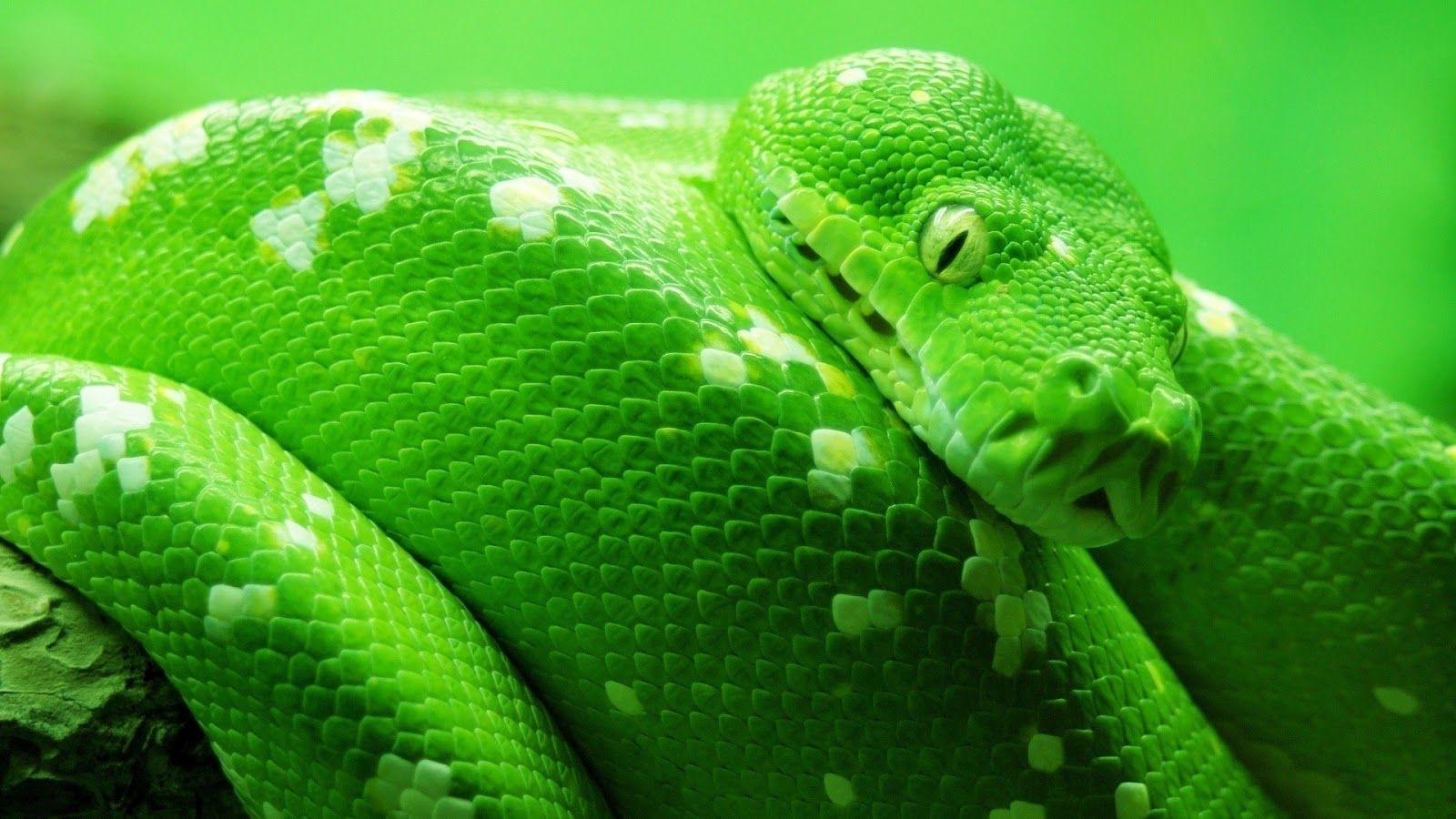 Snake HD Wallpapers Background Images Wallpaper