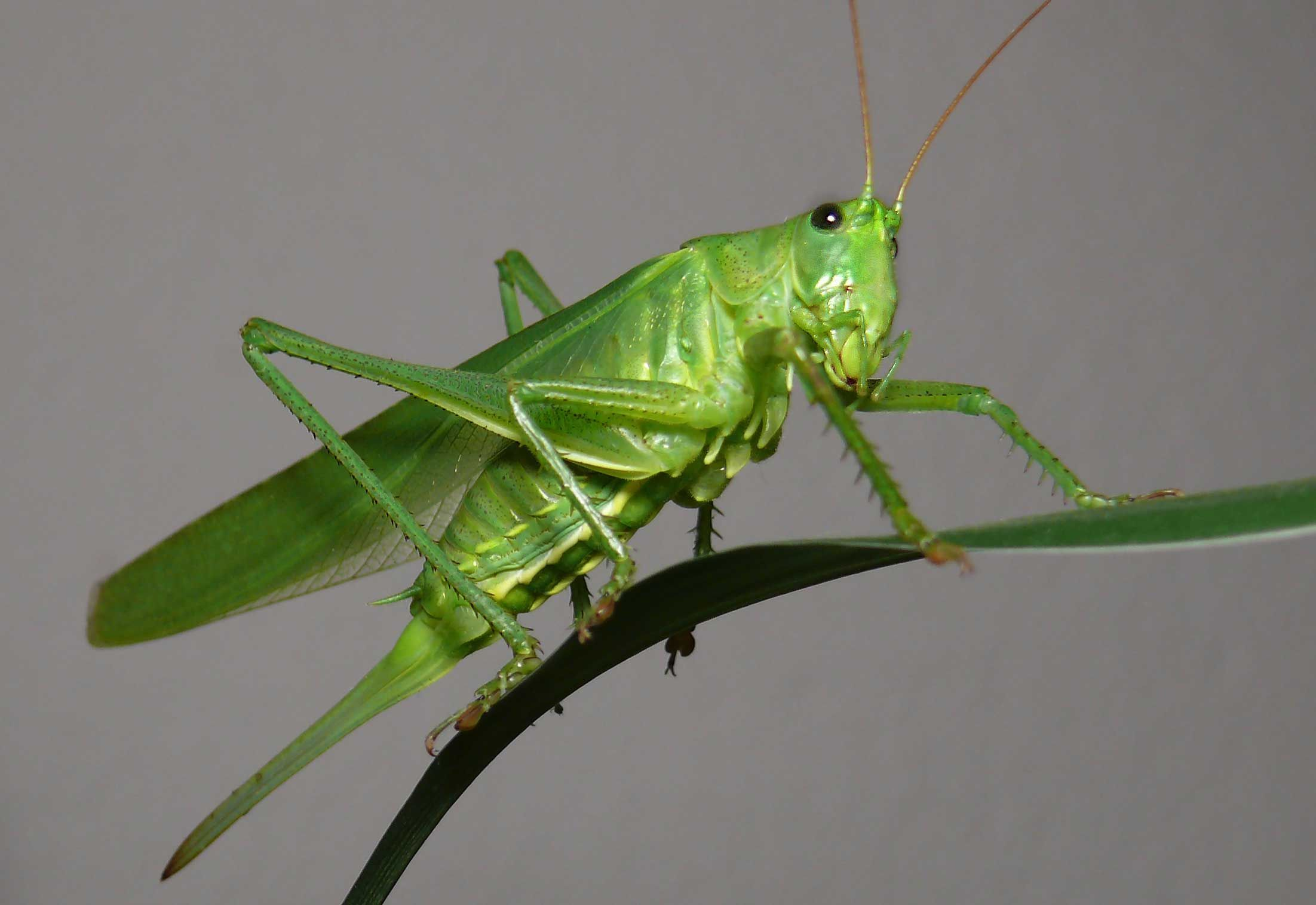 grasshopper on a leaf | bugs | pinterest | insects and animal