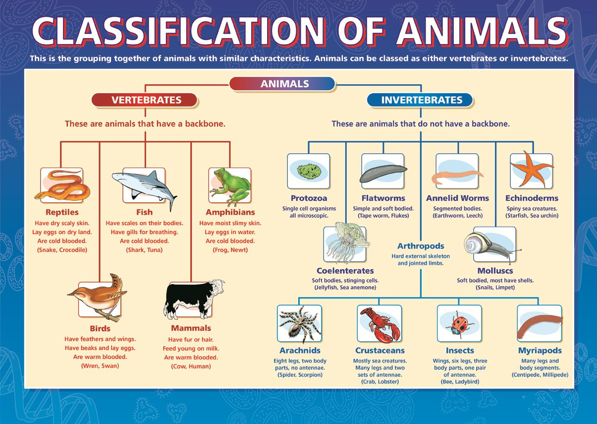 Classification Of Animals Dicotomous Key Taxonomy