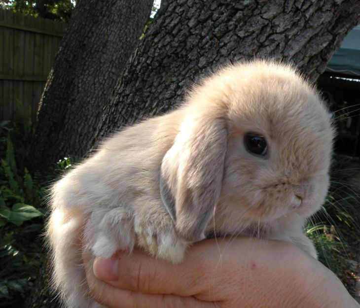 smell the roses Holland lops Pinterest Holland lop