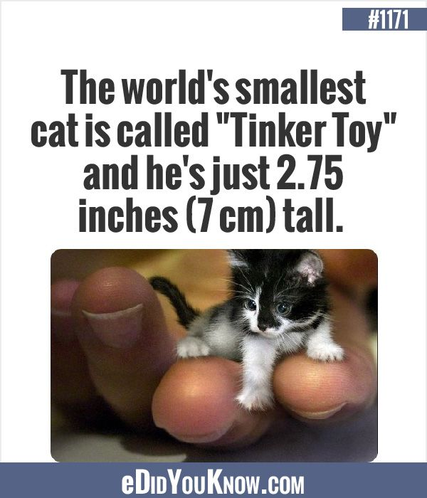 smallest cat in the world guinness 2016 interior design - Smallest Cat In The World Guinness 2016
