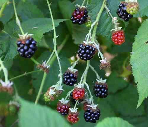 Image result for bramble bush