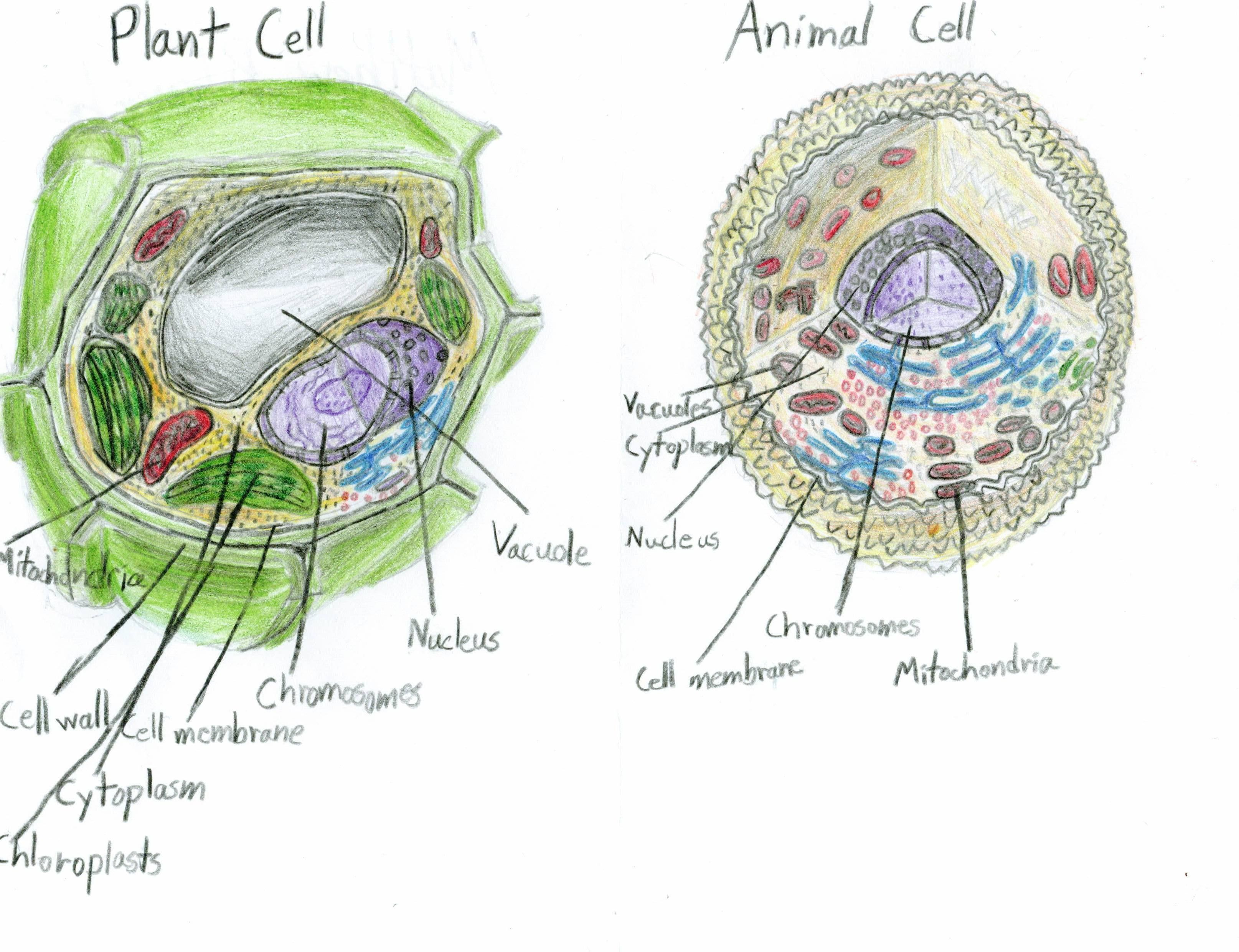 Animal Cell Diagram For 7th Graders Bigking Keywords And Pictures 3d Plant Grade Labeled