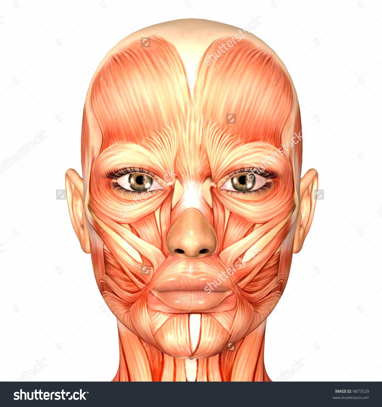 Imageutterstock Z Stock Photo Human Anatomy