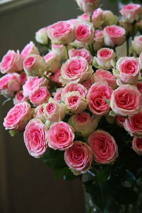 39Mimi Eden39 Florists Rose MiniFlora Bred by Alain