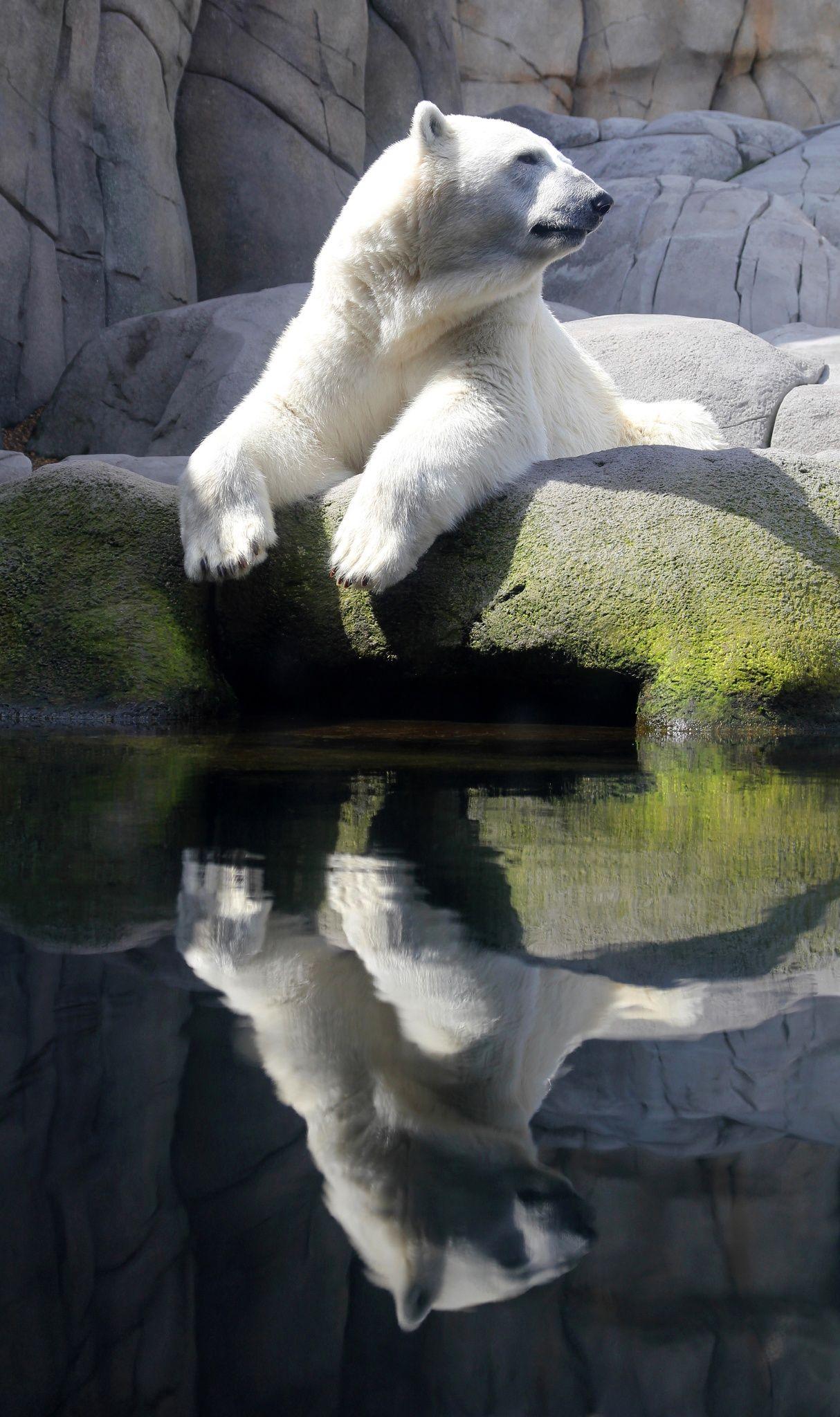 Best 25 Polar Bear Predators Ideas