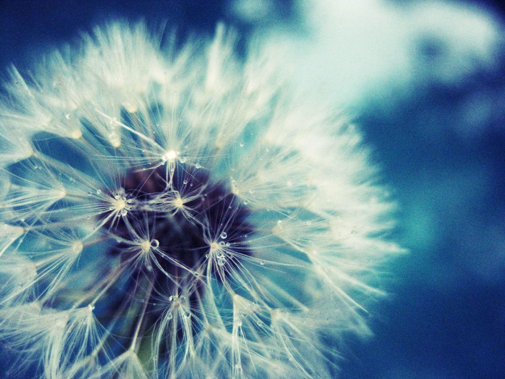 dandelion images | hd wallpapers | pinterest | dandelions and