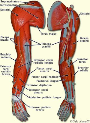 Related to Human Arm Muscles Anatomy | A&P | Pinterest