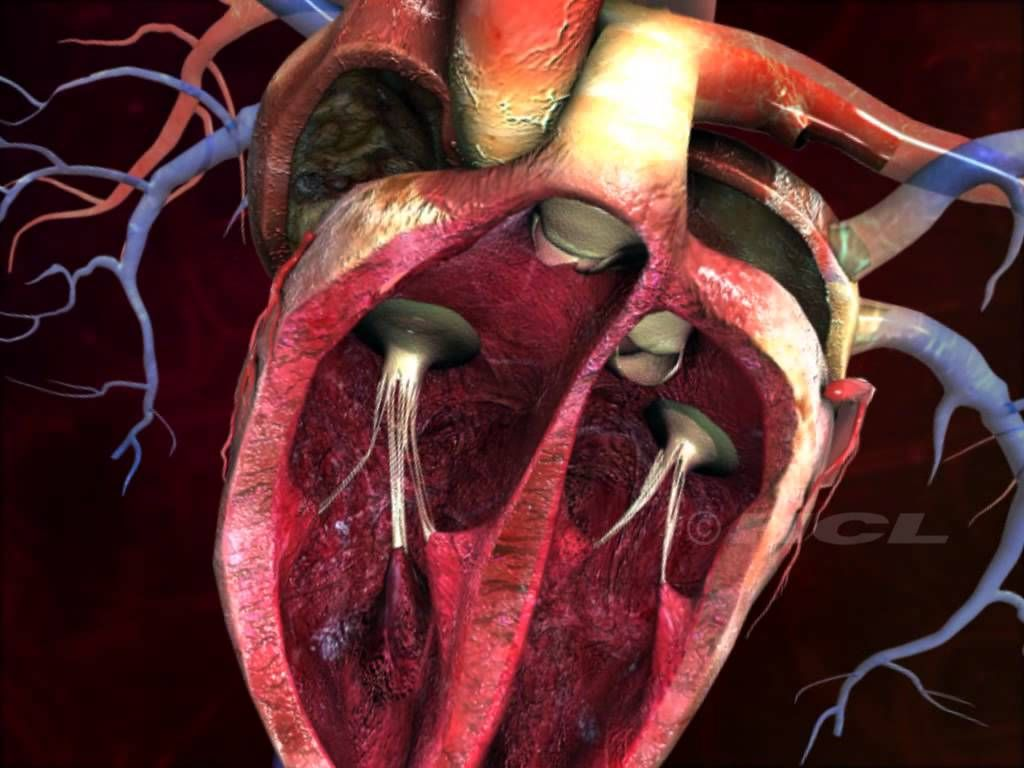 Structure Of The Human Heart