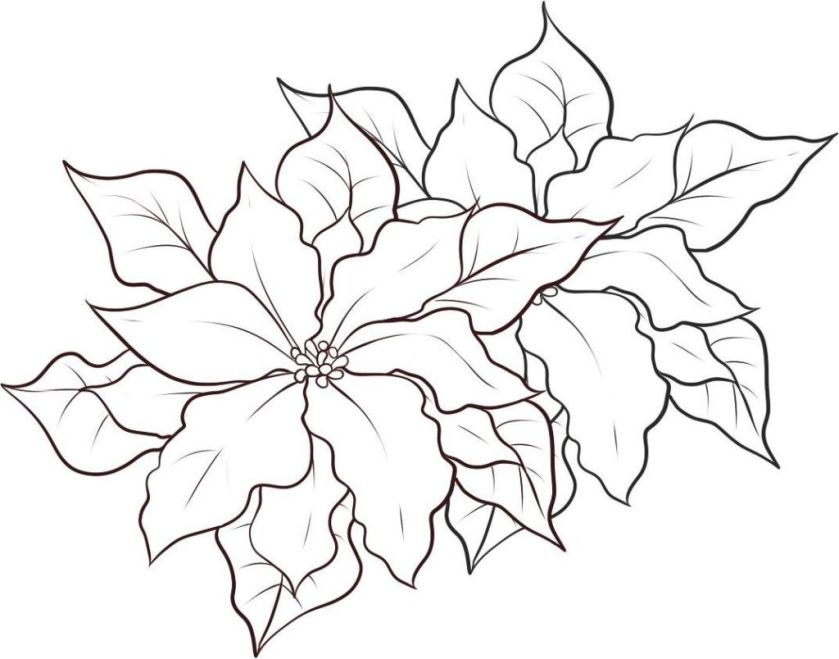 free printable poinsettia coloring pages  google search