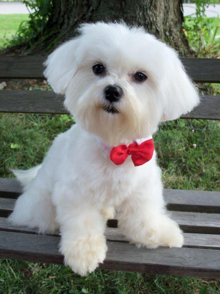 Popular Dog Grooming Styles For the Maltese