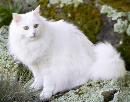 Fluffy Cat Breeds The Best Cat - 25 of the fluffiest cats ever