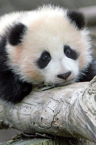 Free Baby Cute Panda Iphone Wallpaper Mobile