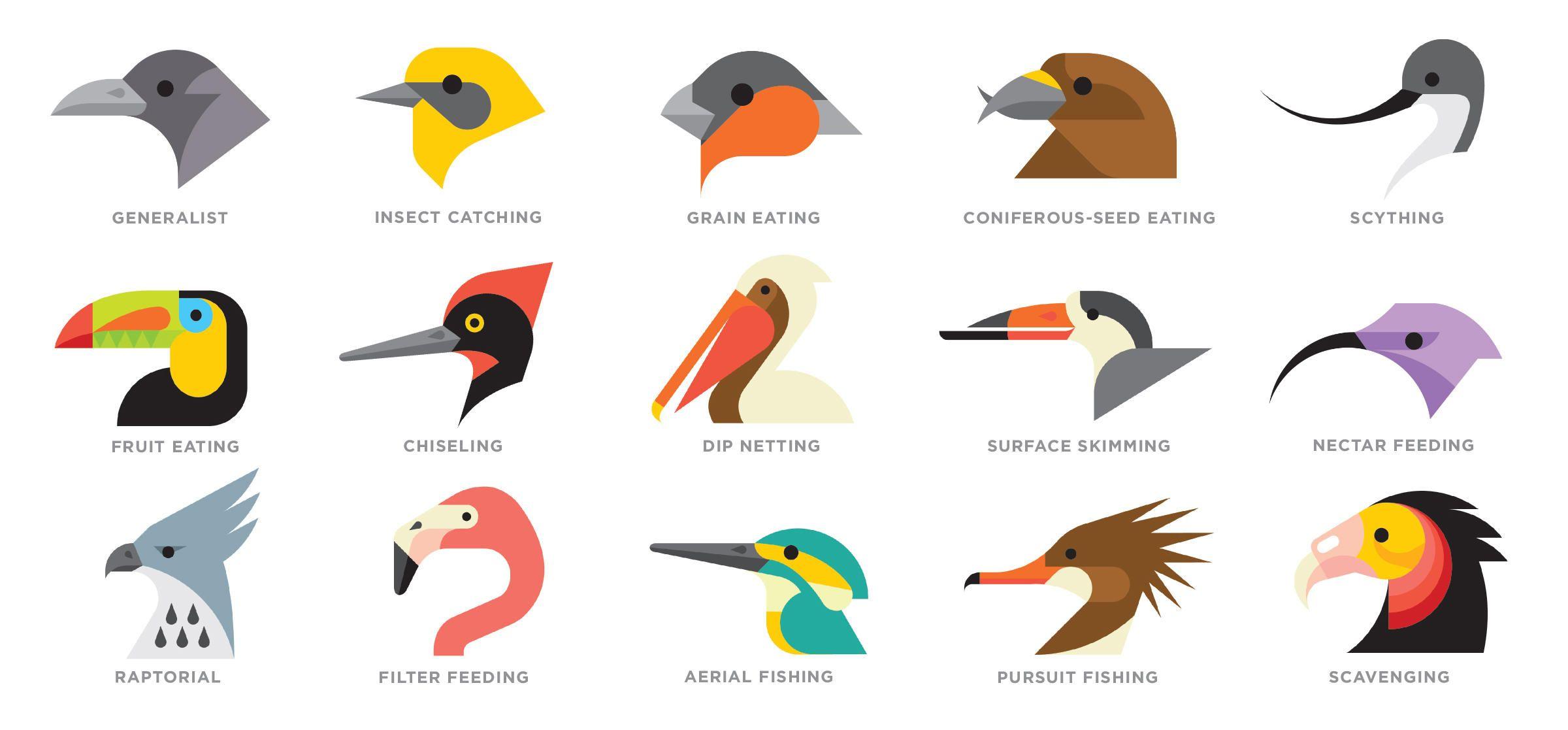 Bird Beak Shapes By Tyler Lang For Audubon The