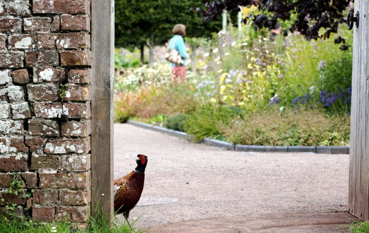 IS THIS THE WAY OUT A curious pheasant looks for the exit after a