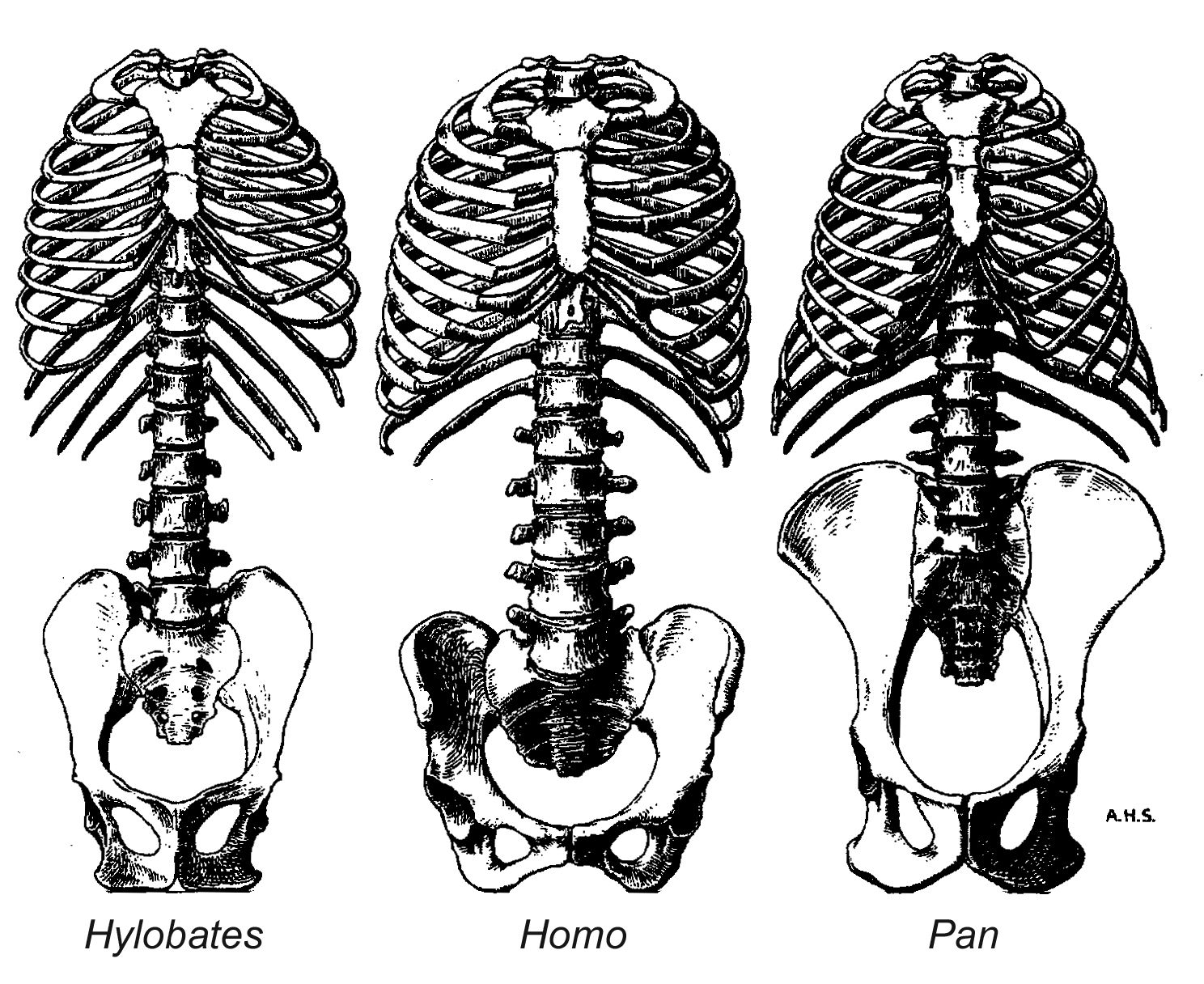 Skeleton Human Bone Illustration