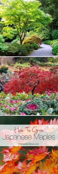 ornamental trees japanese gardens How to Grow Japanese Maples | Gardens, Trees and Eyes