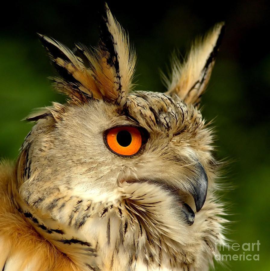 ✯ eagle owl - really cool looking bird | owls | pinterest | owl