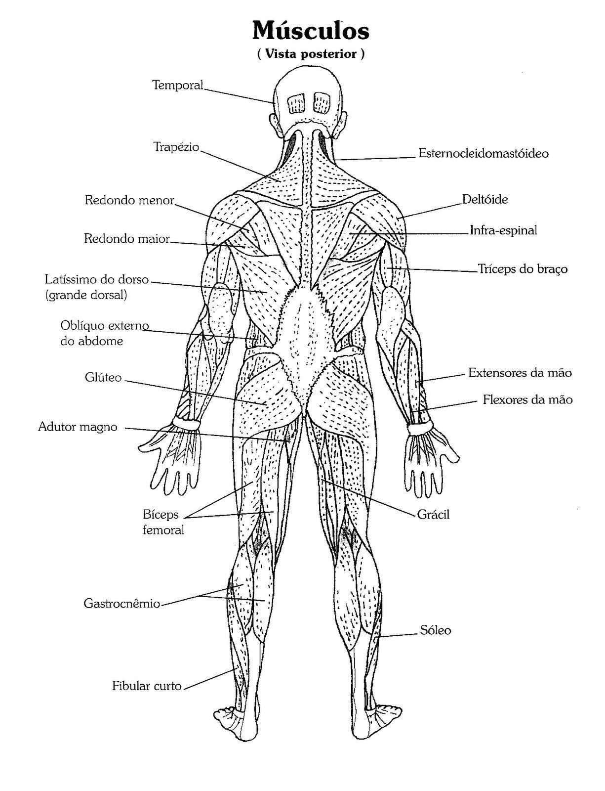 Alguns Musculos Na Visao Posterior Relembrando Nomes E Colorindo