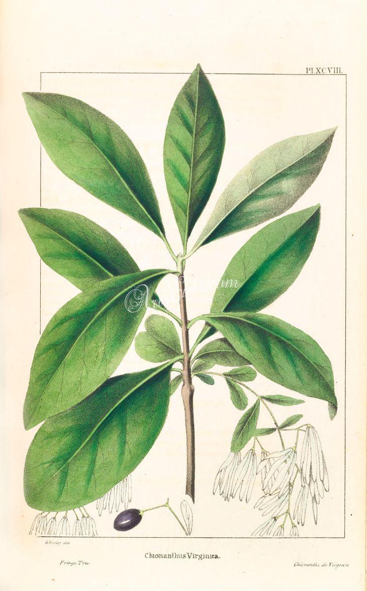 Fringe Tree chlonanthus virginica   ArtsCult  Pinterest