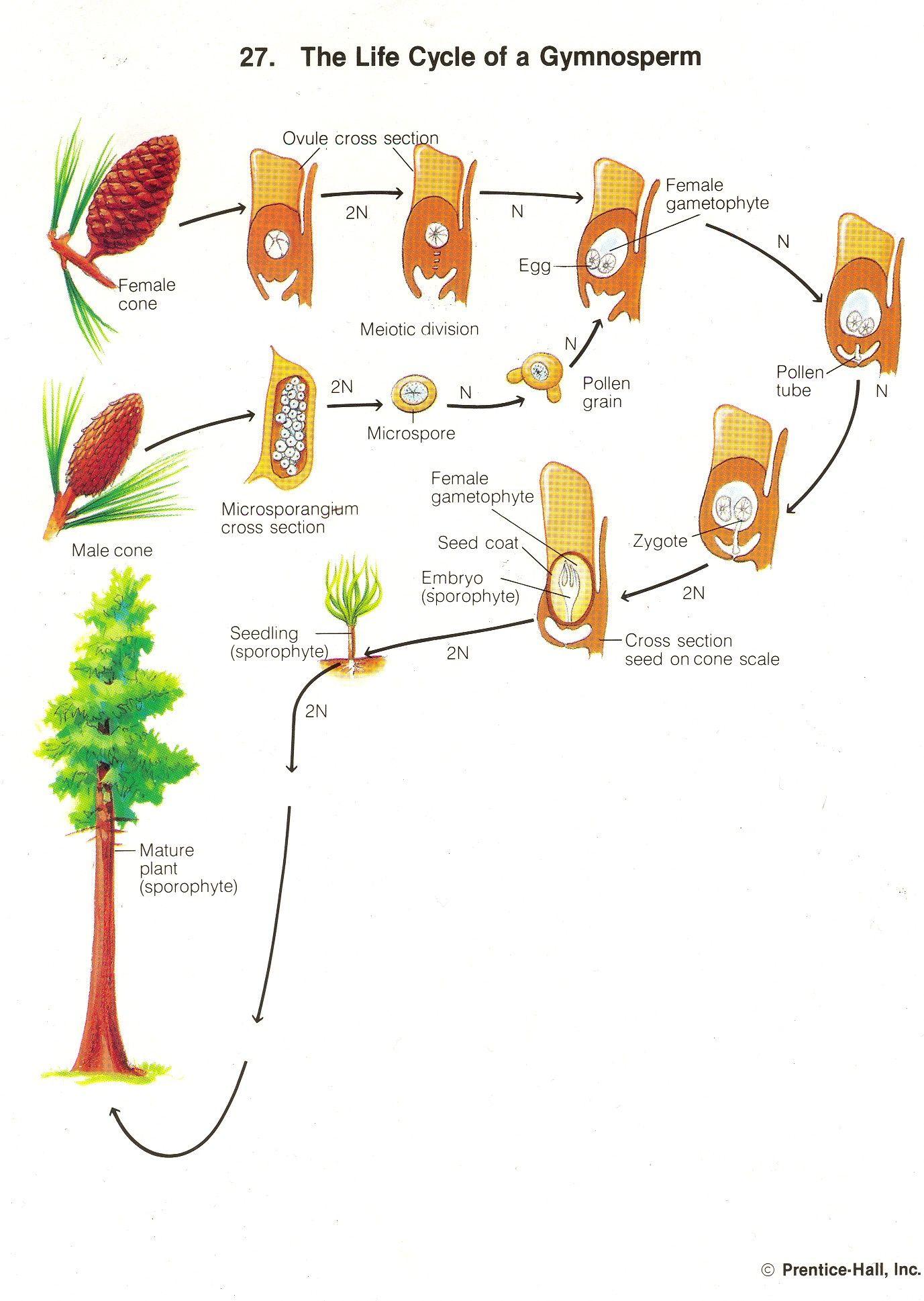 Gymnosperm Life Cycle