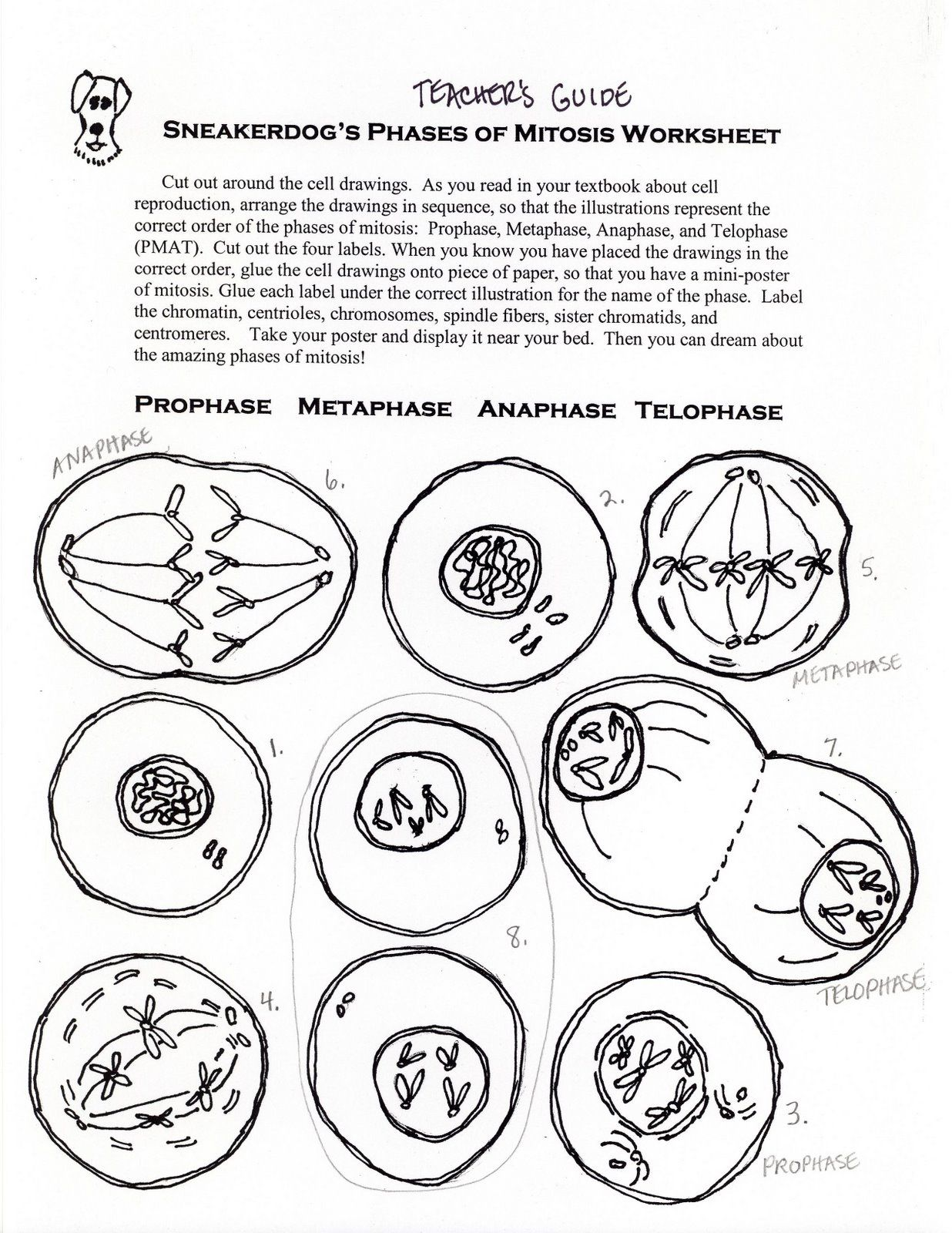 Science Tut Ph Ses Of Mitosis Ctivity W Ksheet L E Science