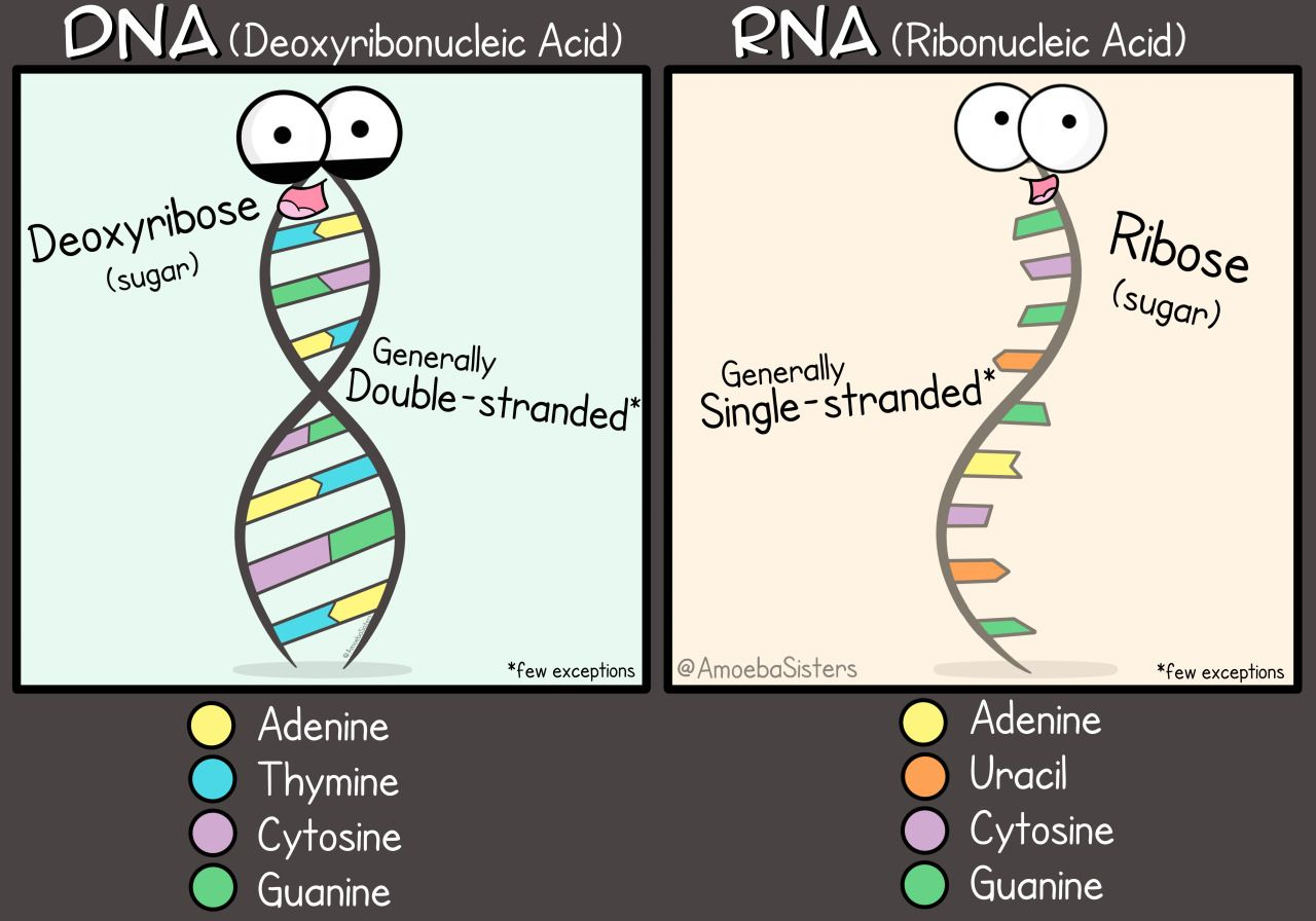 A Little Dna And Rna Comparison Graphic Poster Available