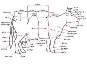 Anatomy  External Parts of the Dairy Cow | Cow  Bull