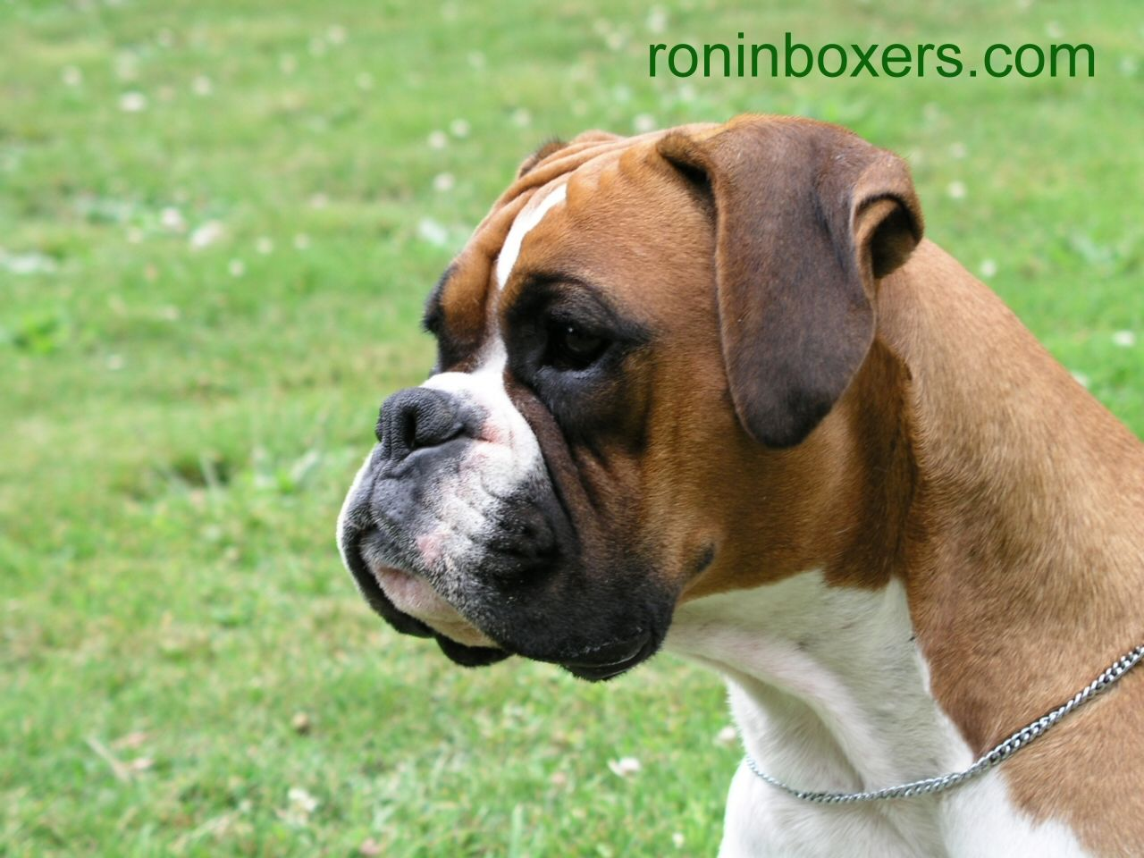 funny boxer pictures dog the dog wallpaper best the dog wallpaper