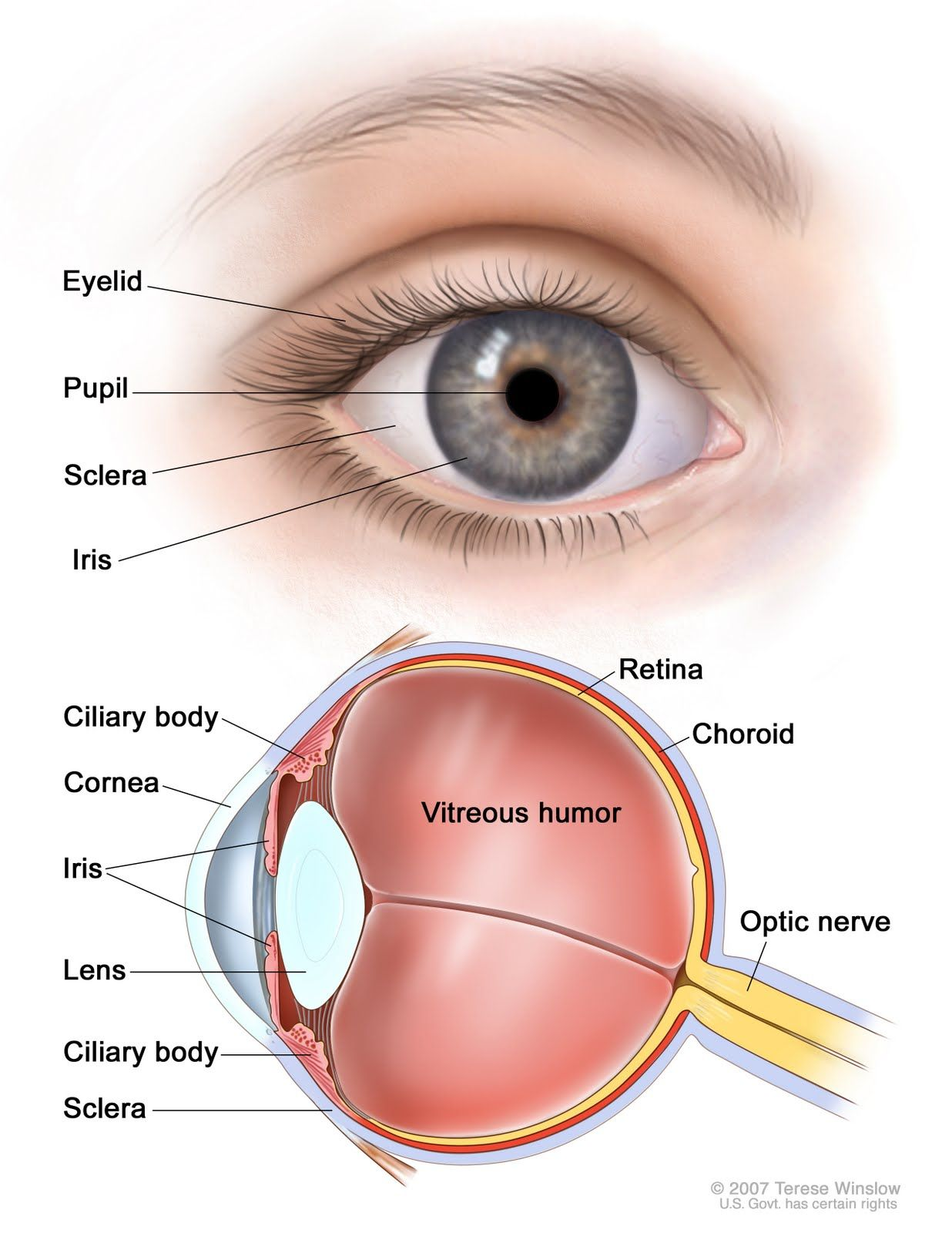 Diagram Of Eye The Eyes Chart