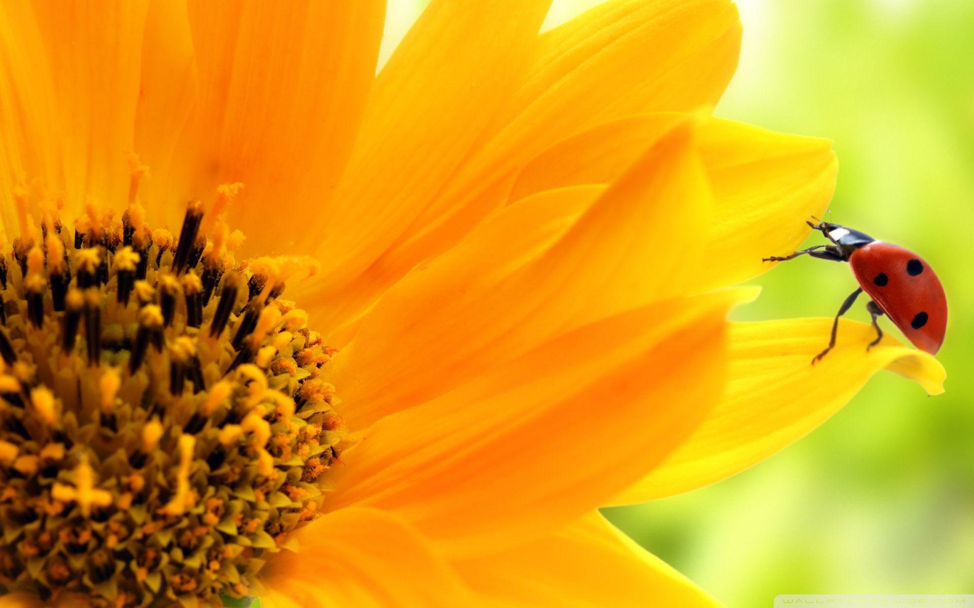 sunflower and ladybug hd desktop wallpaper : high definition