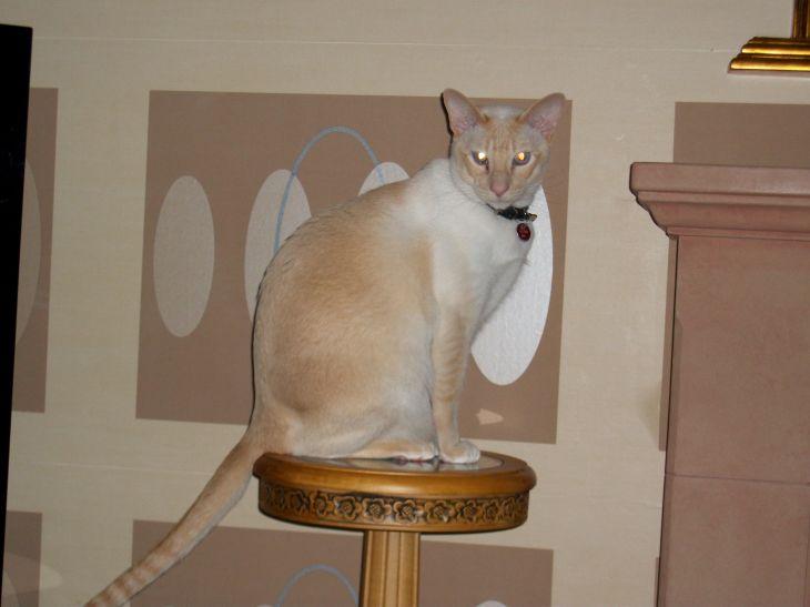 Cream point siamese LOVE SIAMESE CATS Pinterest Siamese