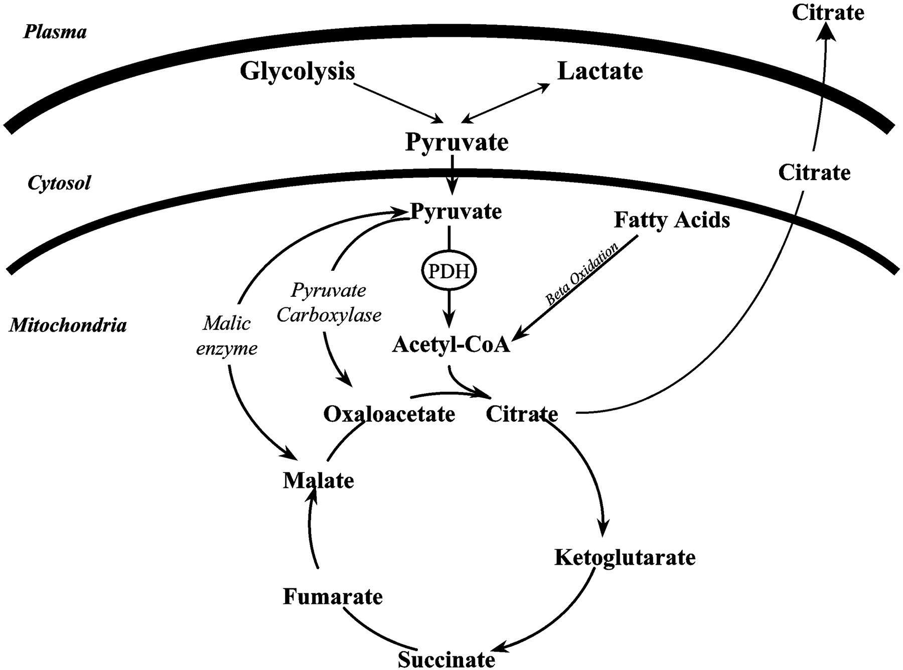Glycolysis Glycogenesis Glycogenolysis Gluconeogenesis