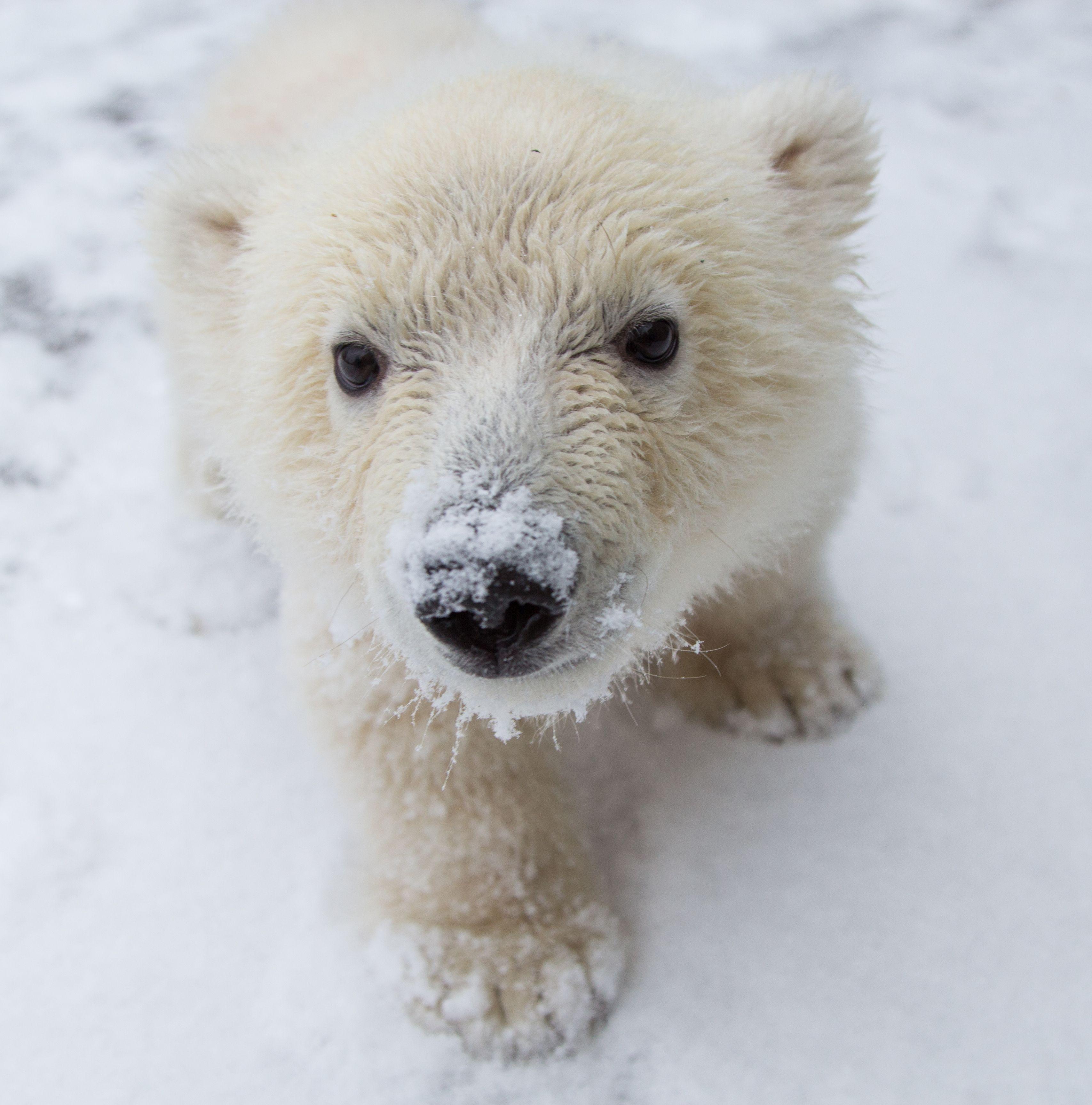 Living On Earth Baby Polar Bear Rescue