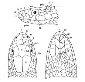 Line diagram showing scales of the head of a snake Three