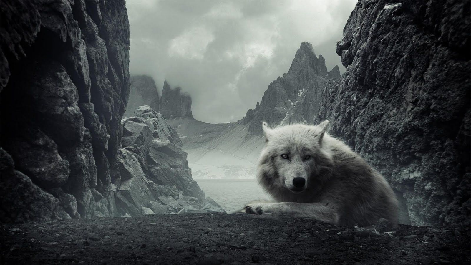 pictures of white wolves | white wolf wallpaper | white wolves