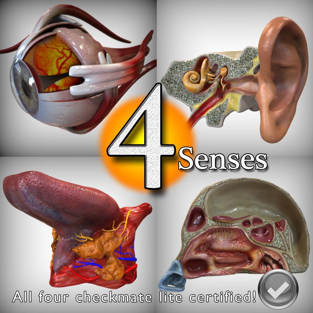 Maya Anatomy Senses Head Ear