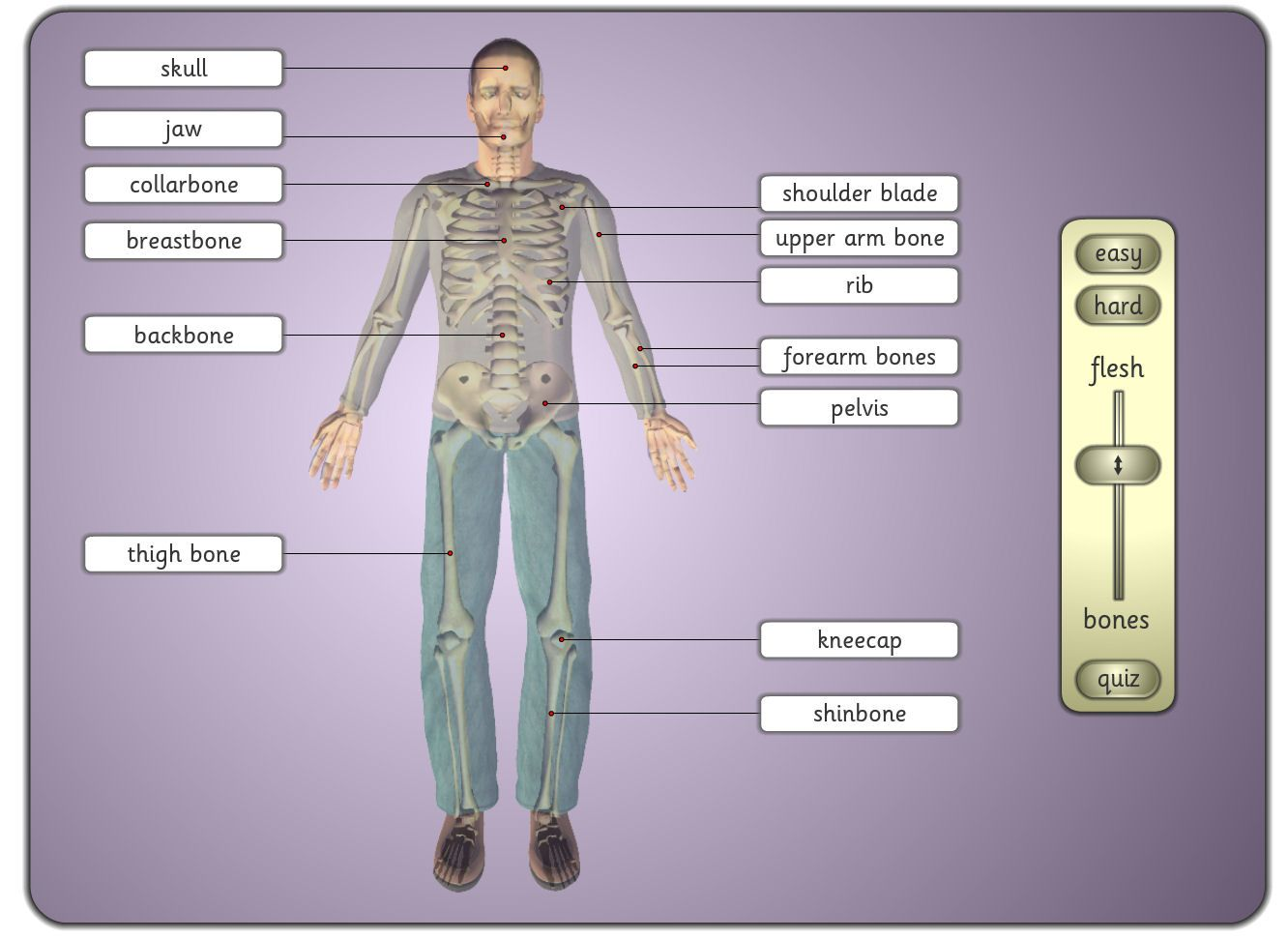Freeware Windows And Osx Activity In Which The Major Bones Of The Human Skeleton Are Labeled