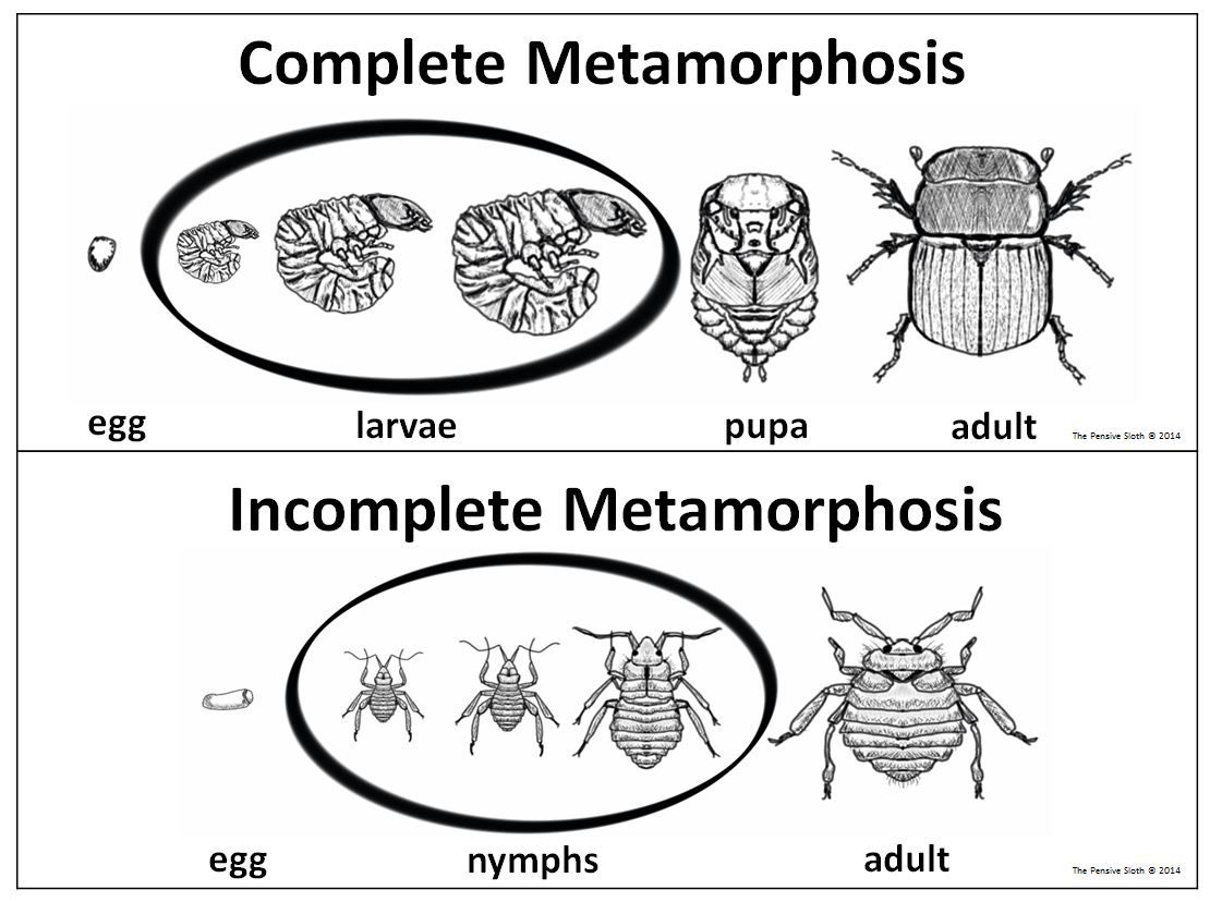 5th Grade Insect Life Cycles Complete Incomplete Metamorphosis Staar Science